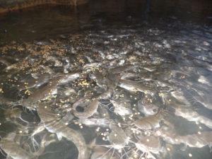 Catfish Feeding in pond