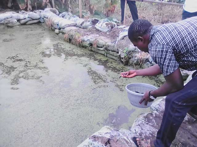 Juveniles being counted as they are being introduced into a pond