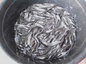 Catfish juveniles in black bowl during sorting