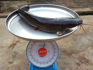 A 2 kilogramme live catfish on a scale